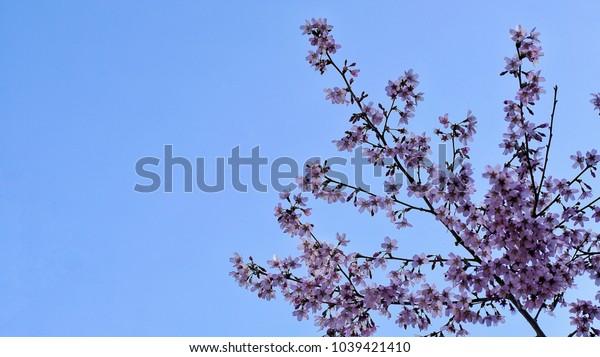 cherry blossoms california