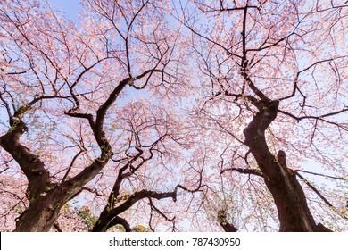 Cherry blossoms at Chidorigafuchi/Chidorigafuchi is a famous sightseeing spot with Japanese cherry blossoms