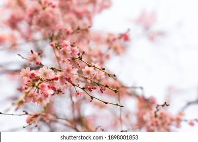 Cherry Blossoms close up Blossoms