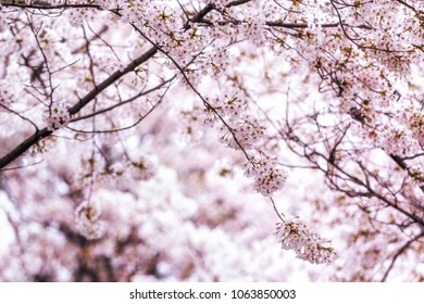 cherry blossoms close up in seoul south korea. Cherry blossoms blossoming in spring near dangin ri power plant nearby hongdae university.