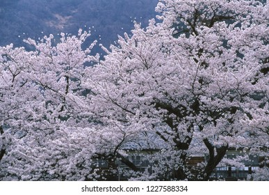 Cherry blossoms and Closed school