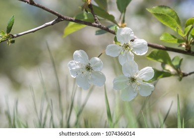cherry blossoms. closeup. Beautiful bokeh. view from the ground