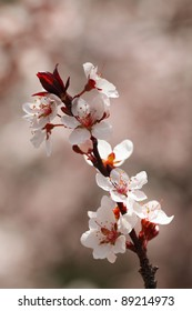 Cherry blossoms closeup, shallow Depth of Field.