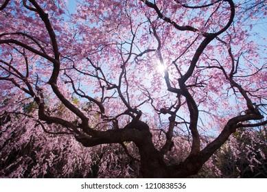The Cherry blossoms dance in manazuru-cho, Kanagawa Prefecture