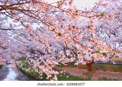 Cherry blossoms at early morning at the Ebigawa river in Funabashi, Chiba, Japan.