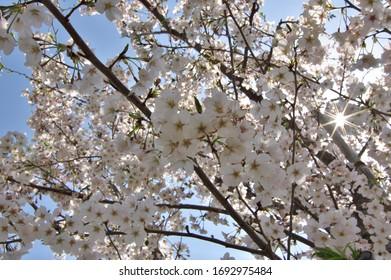 Cherry blossoms at the Ebigawa river in Funabashi, Chiba, Japan.  2020/04/04.