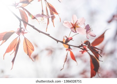 Cherry Blossoms in Espoo, Finland during Spring 2019