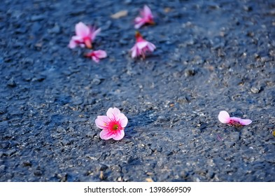 Cherry blossoms fall on the floor