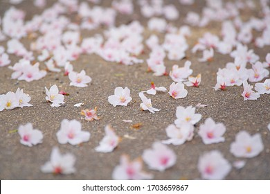 Cherry blossoms falling on the ground.