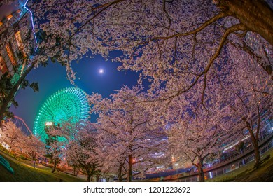 Cherry blossoms and the Ferris wheel of the Minato Mirai