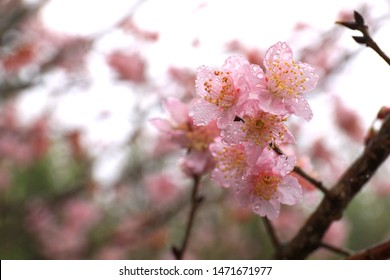 The cherry blossoms foliage (Sakura) with water droplets on the petal on a rainy and foggy day.