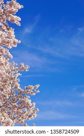 cherry blossoms framing the sky