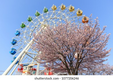 Cherry blossoms in front of Ferris wheel at Hachinohe Park,Aomori Prefecture,Japan