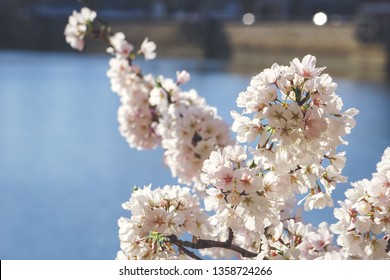 cherry blossoms in front of water