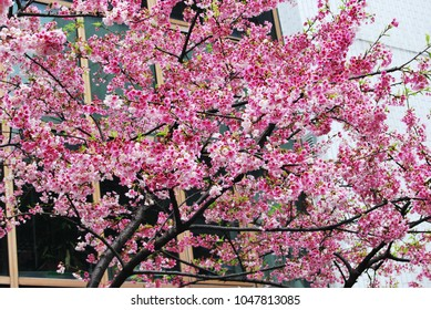 Cherry blossoms in front of the window in springtime