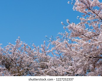 Cherry blossoms are in full bloom.