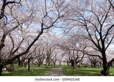 Cherry blossoms in full bloom, Cherry Blossom Garden, Showa Kinen Park, Tachikawa, Tokyo, Japan