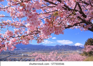 Cherry blossoms in full bloom in early spring