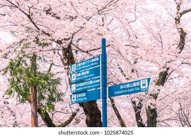 Cherry blossoms are in full bloom Inokashira Park's information sign post