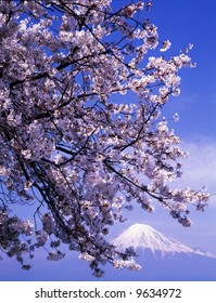 Cherry blossoms in full bloom with Mount Fuji in the background