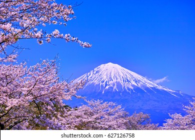Cherry blossoms in full bloom and Mt. Fuji seen from Fujinomiya city