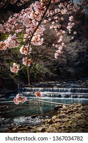 Cherry Blossoms in full bloom next to a stream in Hakone, Japan.