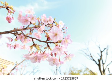 Cherry blossoms in full bloom on a background of blue sky