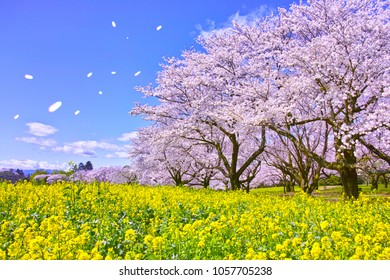 Cherry blossoms in full bloom, rape blossoms and cherry blizzards