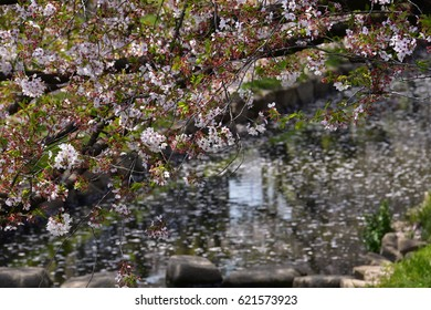 Cherry blossoms in full bloom and river