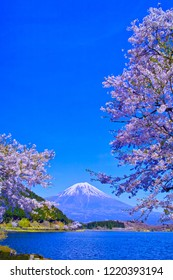 Cherry blossoms in full bloom seen from Lake Tanuki in Fujinomiya city, Shizuoka prefecture and Mount Fuji