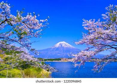 Cherry blossoms in full bloom seen from Tanuki Lake in Fujinomiya city, Shizuoka prefecture and Mount Fuji