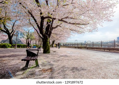Cherry blossoms in full bloom at Sumida river in morning sun light with lens flare, Tokyo, Japan.