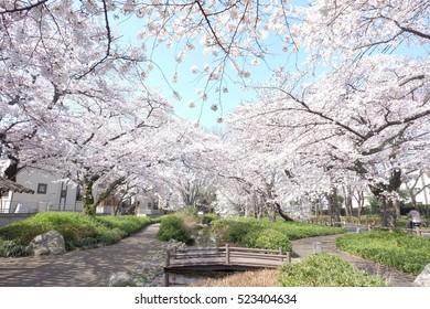 Cherry blossoms in full bloom, Tachikawa, Tokyo, Japan