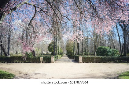 cherry blossoms, Gardens of the city of Aranjuez, located in Spain. Stone palace and beautiful autumn landscapes with beautiful fountains and mythological figures