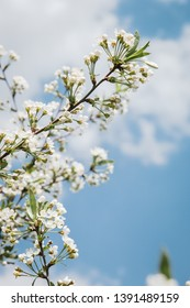 Cherry blossoms growing outdoors under a Sunny blue sky on a flower bed in a colorful seasonal garden