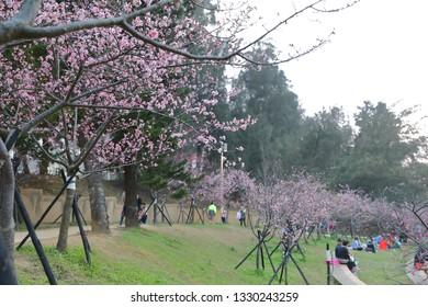 Cherry blossoms in Hsinchu park of Hsinchu, Taiwan