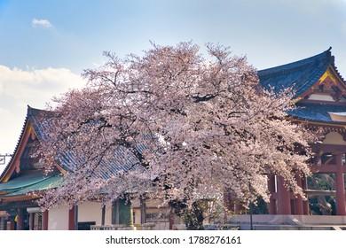 Cherry blossoms at Ikegami Honmonji Temple in Ota Ward