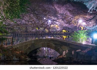 Cherry blossoms of Inokashira Park (Inokashira Park)