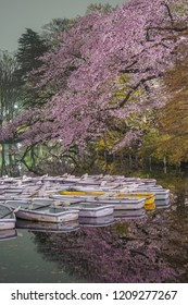 Cherry blossoms of Inokashira Park and the boat