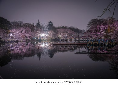 Cherry blossoms of Inokashira Park and the duck boat