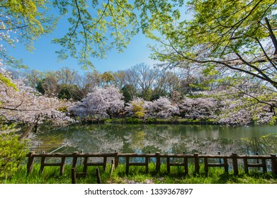 """Cherry blossoms of  Inokashira Park.  """"Inokashira Imperial Grant Park"""" was considered a gift from the Emperor to the general public.Tokyo, Japan."""