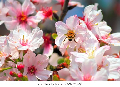cherry blossoms with insect