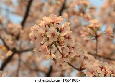 Cherry blossoms of Iris Garden in Seoul.