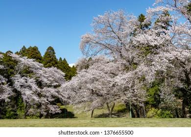 Cherry Blossoms in Izumi Nature Park, Wakaba Ward, Chiba City, Chiba Prefecture, Japan