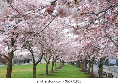 Cherry blossoms at the Japanese American Historical Plaza in Portland OR USA