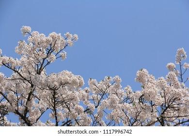 cherry blossoms Kakunodate Japan