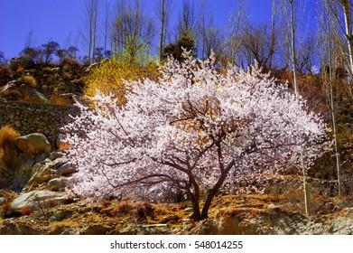 Cherry blossoms at karakorum mountains,northern of Pakistan