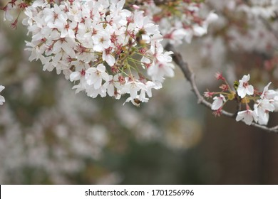cherry blossoms in korea with old lens(minolta)