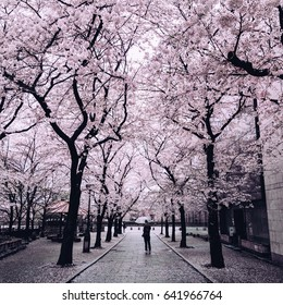 Cherry blossoms in Kyoto, Japan and a person walking