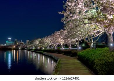 Cherry blossoms at lake Senba in Mito - Ibaraki Prefecture